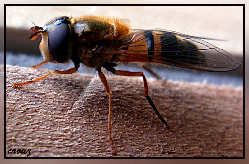 fly syrphe
