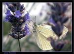 Title: my first butterflyKonica Minolta Dimage Z3