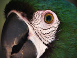 Title: macaw