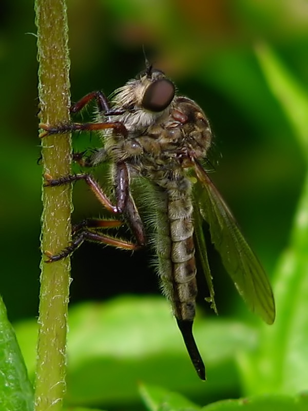 Robberfly