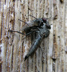 Title: Robberfly and its prey Camera: Nikon Coolpix 8700