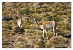 Title: Vicunas of altiplano