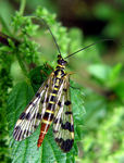 Title: Scorpionfly