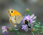 Title: Small heath and bumblebee