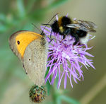 Title: Bumblebee and small heath