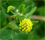 Title: Yellow clover