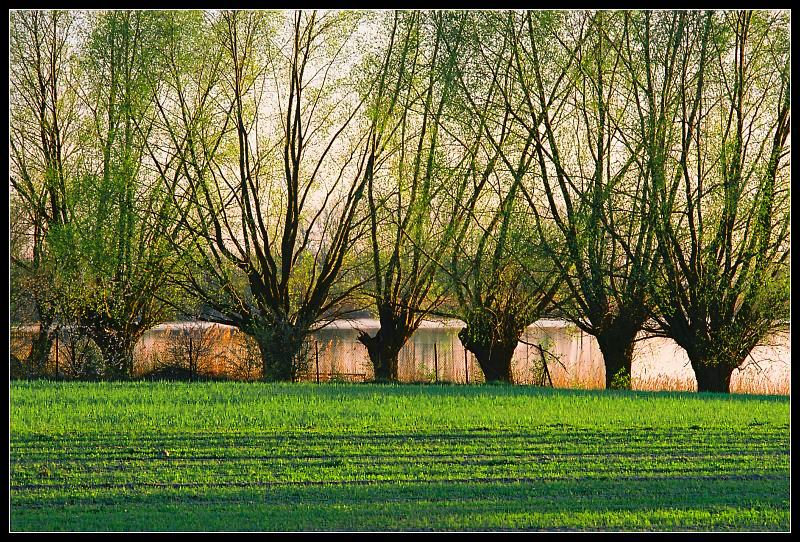 Willows...