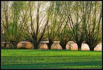 Title: Willows...