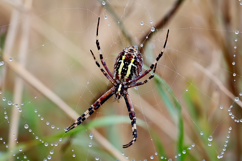 Striped Argiope - bottom of the spider