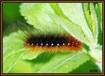 Title: caterpillar with the long hairs