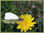 Title: *white butterffy on yellow flower