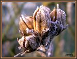 Title: dried and frosted flowerkonica mimolta dimage z6