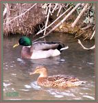 Title: a pretty couple of mallard