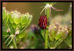 Title: the bug arlequin