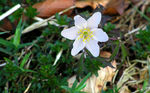 Title: Wood Anemone