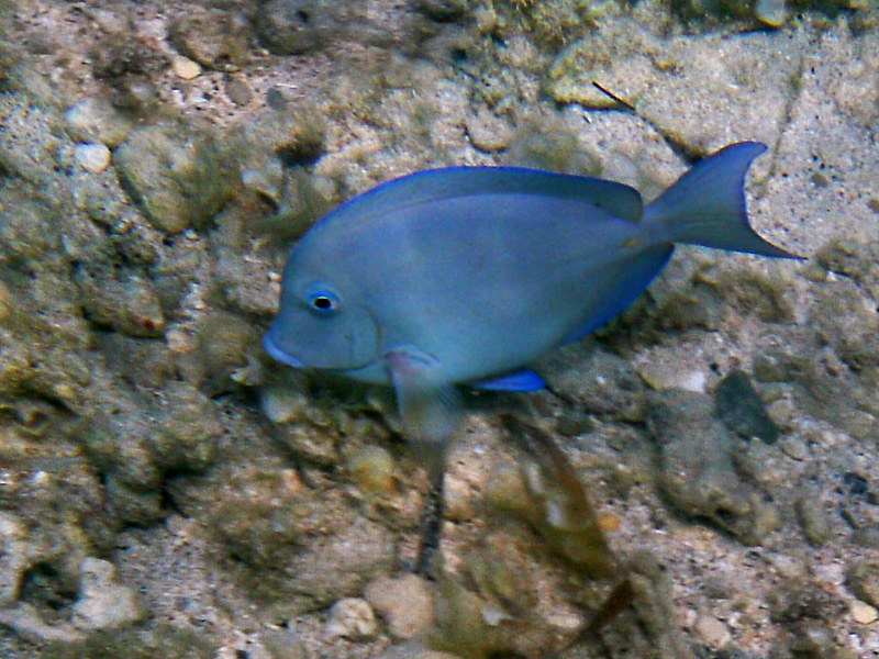 Treknature blue tang photo for Blue tang fish facts