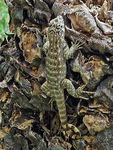 Title: Curly-tailed lizard