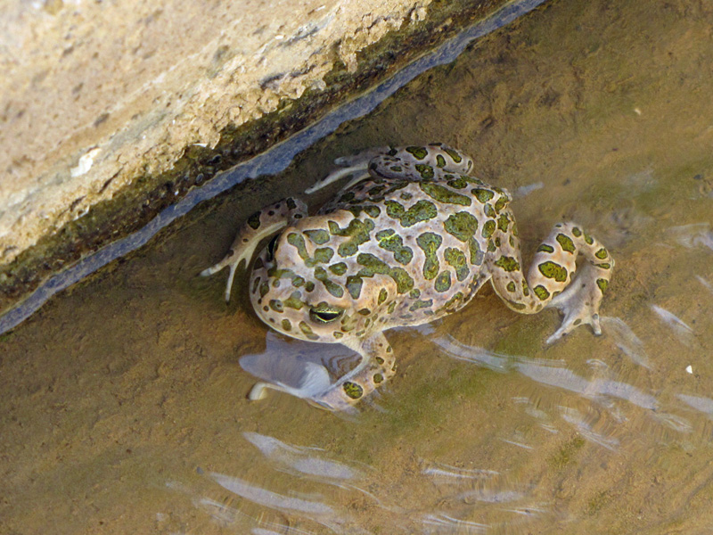 Toad in irrigation canal