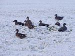 Title: Flock of Gadwalls in the Snow