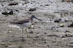 Title: Common Greenshank