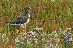 Title: Turnstone on Salty Meadow