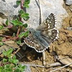 Title: Grizzled Skipper