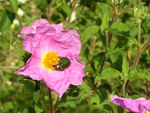 Title: Rockrose and Rose Chafer
