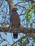 Title: Crested Serpent Eagle
