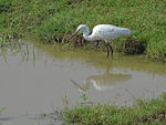 Title: Little Egret