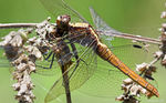 Title: Canibal dragonfly