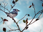 Title: Blue Jay 2