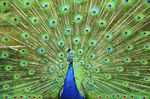 Title: The Peacock