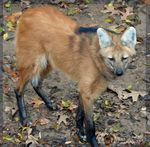 Title: Maned Wolf of South America