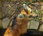 Title: Maned-Wolf