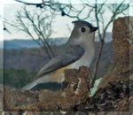 Title: Tufted Titmouse