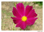 Title: Cosmos Flower