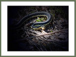 Title: Thamnophis sirtalis