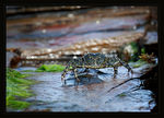 Title: ~  Variegated Shore Crab ~