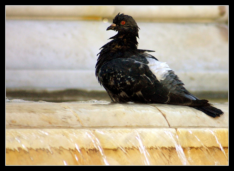 Shocking! Naked pigeon in its bath!