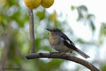 Title: Juv. Magpie Robin