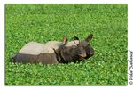 Title: Great One-Horned RhinocerosNikon D200