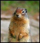 Title: Richardson Ground Squirrel