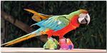 Title: Red-and-green Macaw