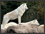 Title: White Wolf