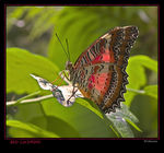 Title: RED LACEWING