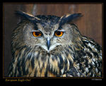 Title: European Eagle Owl