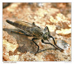Title: Nasty Robber Fly