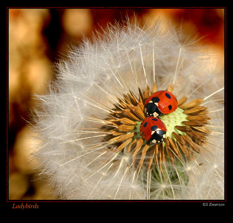 Ladybirds in Spring