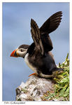 Title: Atlantic Puffin