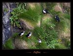 Title: Year of the Puffin